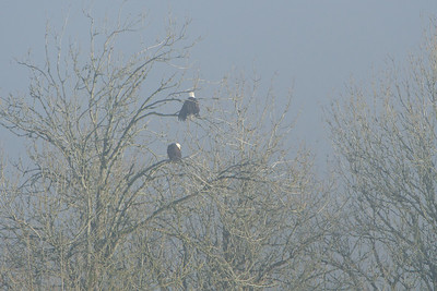 Bald Eagles shrouded in fog.