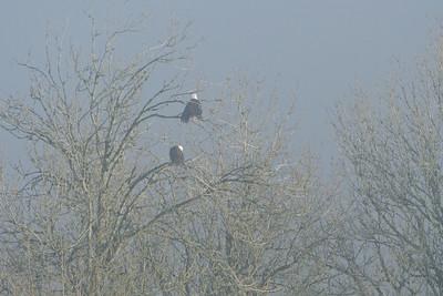 Bald Eagles shrouded in fog.