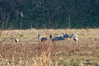 Sandhill Cranes with a Red-tailed Hawk on the fence post
