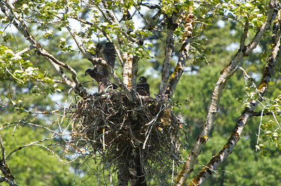 Two Eaglets almost ready to fledge.