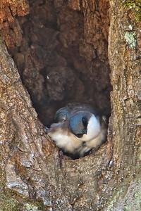 Tree Swallow baby