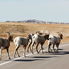 Big Horn Sheep walking along the road in the Badlands