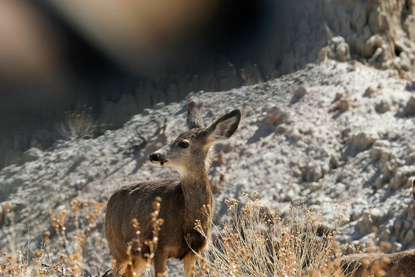 Mule Deer in the Badlands