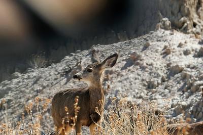 Mule Deer in the Badlands