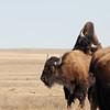 "Buffalo getting a bit ""frisky"" along Sage Creek Rim Road in the Badlands"