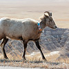 Big Horn Sheep grazing along the road in the Badlands