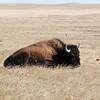 Buffalo napping along Sage Creek Rim Road in the Badlands