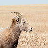 Big Horn Sheep in the Badlands
