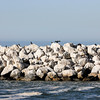 Some of the Brown Pelicans and Western Gulls on the breakwater rocks right before we got to the Pacific Ocean