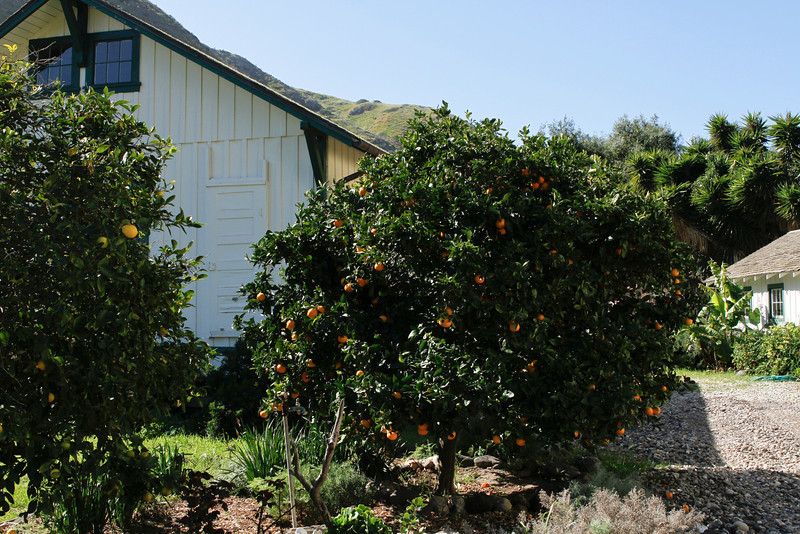 Orange Trees at the Visitors Center