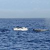 Spotted several Humpback Whales on the way to Santa Cruz Island