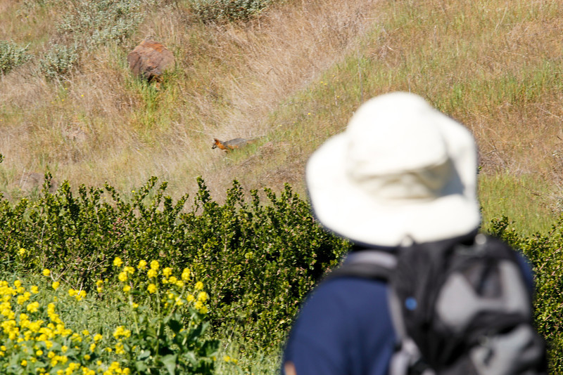 Rare spotting of the Santa Cruz Island Fox – it is not found anywhere else in the world... only here
