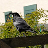 Raven keeping watch over the Visitors Center