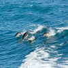 Bottlenose Dolphins on the way to Santa Cruz Island