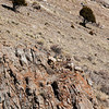 Big Horn Sheep on the cliffs.