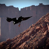 One of the many ravens in Monument Valley