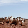 Goats and sheep just roamed freely in Monument Valley