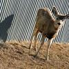 Mule Deer spotted in Pine Haven