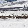 Elk herd in the valley