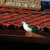 Sea Gull on the condo roof