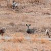Mule Deer in the Park