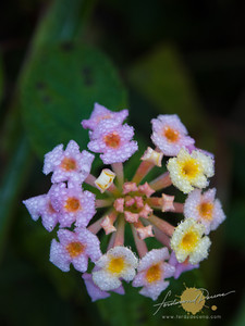 Lantana with morning dew