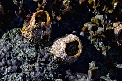 Big barnacles on the beach at San Juan Island County Park.1