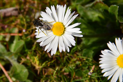 Little bee on wild daisies.