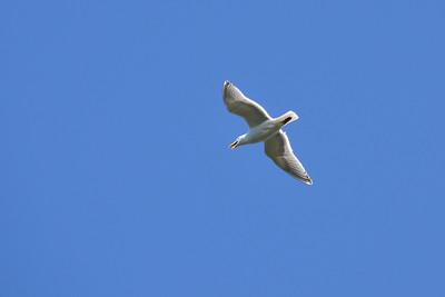 A soaring gull.