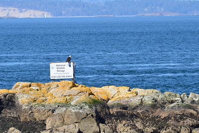 A bald eagle rests on the sign for the National Wildlife Refuge