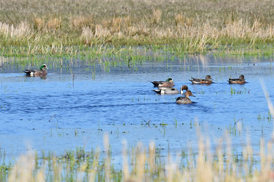 Northern Pintails and Wigeons.