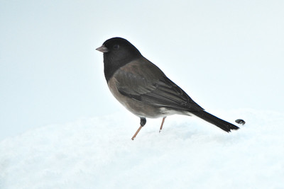 "Dark-eyed ""Oregon"" Junco"