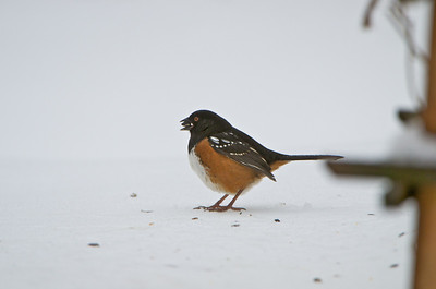 Spotted Rufus-sided Towhee