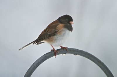 "Dark-eyed ""Oregon"" Junco - Starting with this shot, the rest were taken outside."