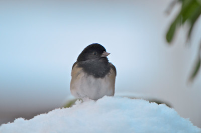 "Dark-eyed ""Oregon"" Junco - this one and the previous 4 were shot through the front window."