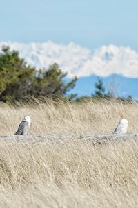 Snowy Owls - Ocean Shores, WA