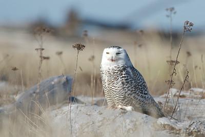 Snowy Owls February 4, 2012