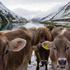 Curious cows at the lake at the top of Oberalp Pass. All the cows have bells and the hills ring constantly.