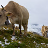 More cows on the way up to Furkapass.