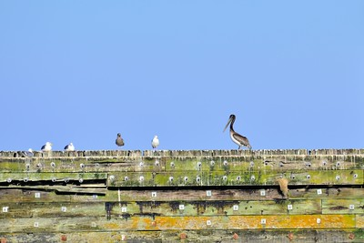 Brown Pelican and seagulls resting on a wall at Westport, WA