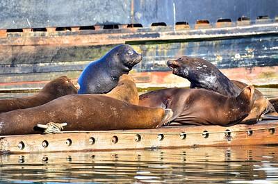 Sea Lions sunbathing on a float in the Westport Marina.