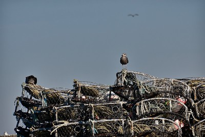 A seagull resting on a stack of crab pots.