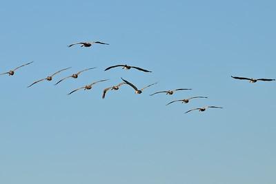 Brown Pelicans at Westport, Washington