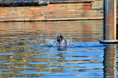 Sea Lion swimming at the Westport Boat Harbor.