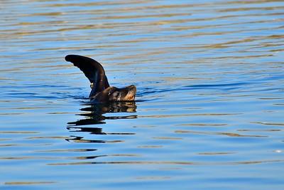Sea Lion swimming at the Westport Boat Harbor.