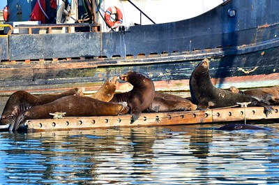 Sea Lions sunbathing on a float in the Westport Marina.