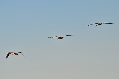 Brown Pelicans at Westport, Washington