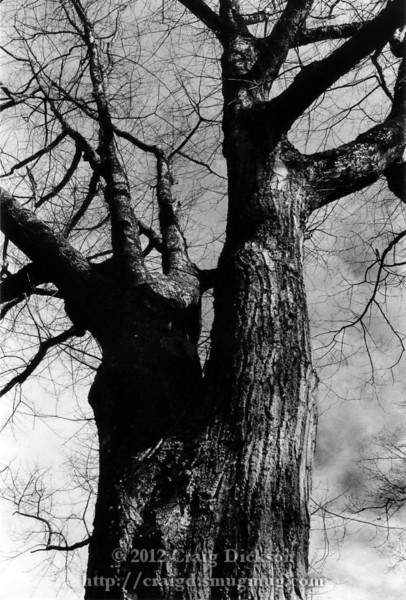 Bainbridge Island tree