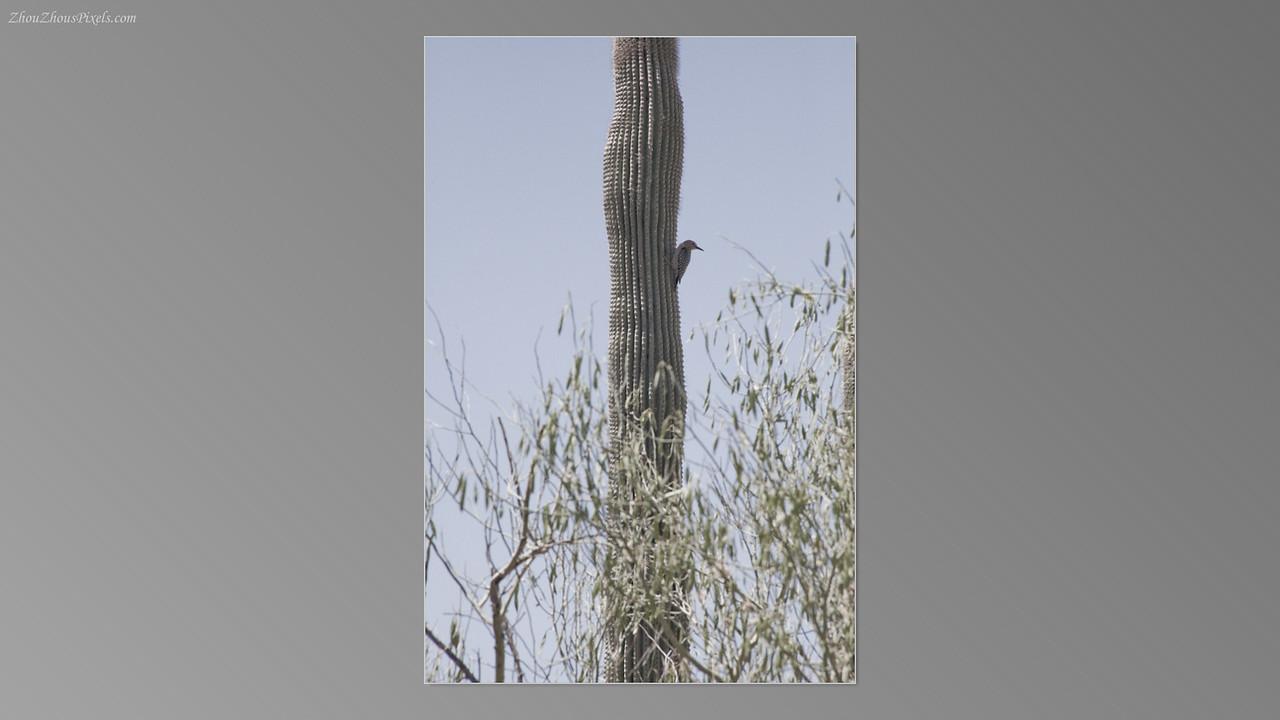 2012_05_14-2 (Saguaro & Desert Museum)-41