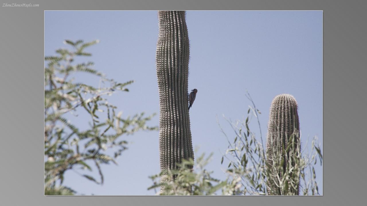 2012_05_14-2 (Saguaro & Desert Museum)-38